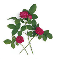 Rose de Resht <br />(Rosa damascena) | Rosen