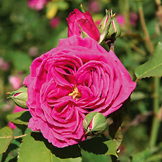 Mme Isaac Pereire <br />(Rosa borboniana) | Rosen